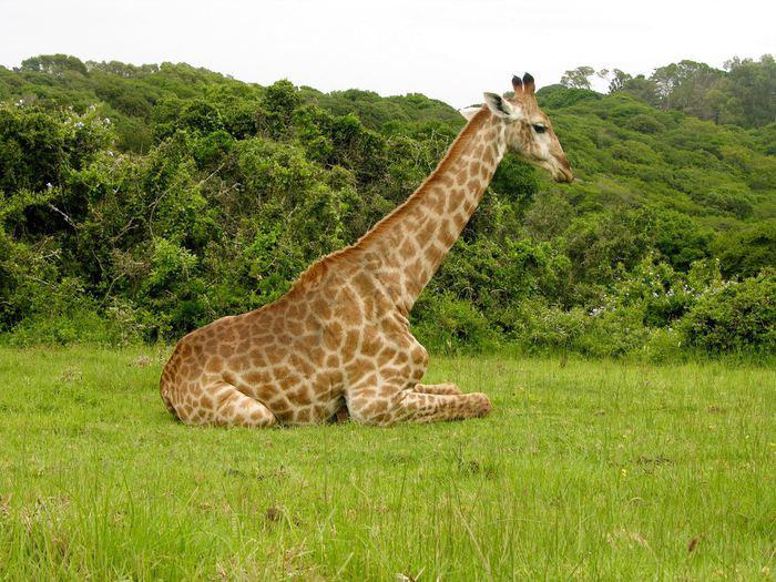 Какое животное самое высокое в мире