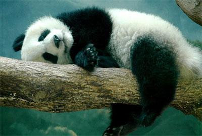 Панда где обитает