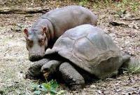 большая черепаха и бегемот