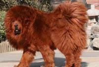 крупная собака