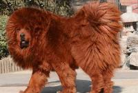 самая большая порода собак - фото