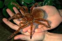 самый большой паук