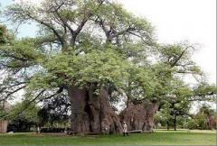 самое старое дерево